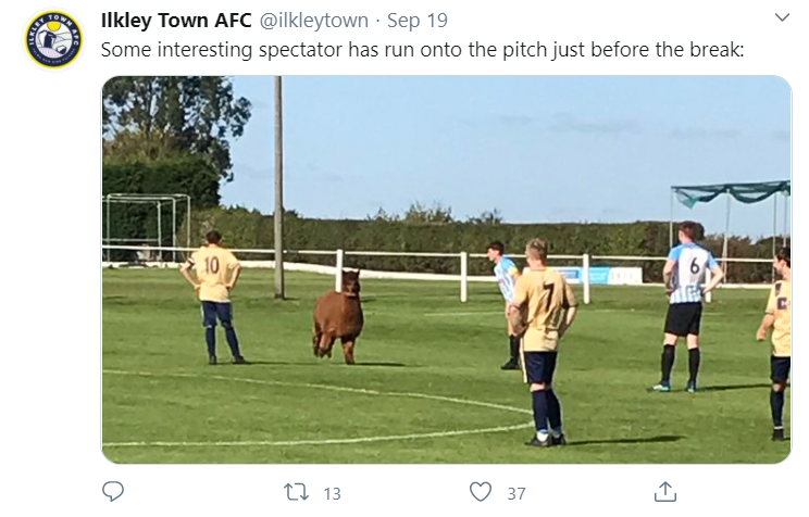 Ilkley Town AFC players looking at an Alpaca on the pitch